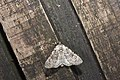 Subleuconycta sugii (35680185120).jpg