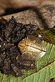 Subsocial tortoise beetle Acromis sparsa (Chrysomelidae- Cassidinae) (23984348740).jpg
