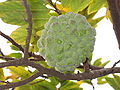 Sugar-apple fruit.jpg