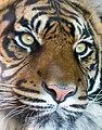 Sumatran Tiger 2 (13102782084).jpg