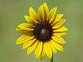 Sunflower (35207228524).jpg