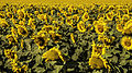 Sunflower landscape (8079990962).jpg