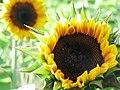 Sunflower opening (287601089).jpg