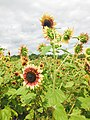 Sunflowers and Cloudy.jpg