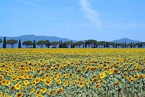 Sunflowers in bloom - Maremma Toscana - Italy - 25 June 2005