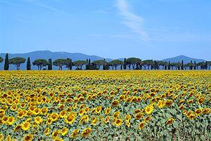 Maremma - A sunflower field in Maremma