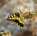 Swallowtail. Papilio machaon - Flickr - gailhampshire (2).jpg