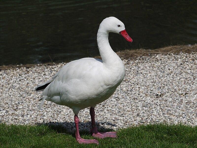 File:Swan 1000802.JPG
