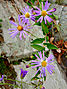 Symphyotrichum patens - Late Purple Aster.jpg