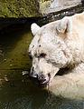 Syrischer-Braunbaer-seitlich-Zoo-Muenster-2013.jpg
