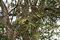 Syzygium jambos 13zz.jpg