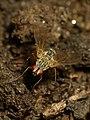 Tachinidae Mukteshwar 3.jpg