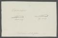 Taenia infundibuliformis - - Print - Iconographia Zoologica - Special Collections University of Amsterdam - UBAINV0274 105 19 0033.tif