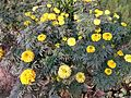 Tagetes patula(yellow) in bd 04.jpg
