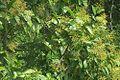 Tapirira guianensis (16571693133).jpg