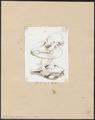 Tapirus americanus - schedel - 1700-1880 - Print - Iconographia Zoologica - Special Collections University of Amsterdam - UBA01 IZ22000307.tif