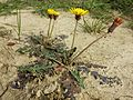 Taraxacum serotinum sl12.jpg