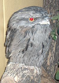 Tawny frogmouth denver cropped.jpg