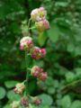 Tellima grandiflora 07469.JPG