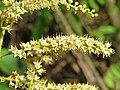 Terminalia elliptica - Indian Laurel flowers at Nedumpoil (10).jpg