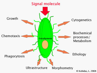 Tetrahymena - Main fields of biomedical research where Tetrahymena cells are used as models
