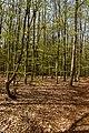Texel - De Dennen - Budding Beeches - View NNW.jpg
