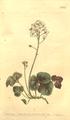The Botanical Magazine, Plate 452 (Volume 13, 1799).png