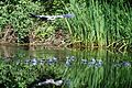 The Heron at Warnsborn pond is flying away without prey. look at all the bubbles in the water. All fishes jump away for their safety - panoramio.jpg