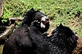 The Himalayan black bear (Ursus thibetanus) is a rare subspecies of the Asiatic black bear. 02.jpg