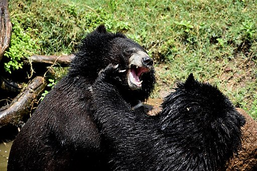 The Himalayan black bear (Ursus thibetanus) is a rare subspecies of the Asiatic black bear. 02