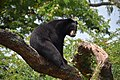 The Himalayan black bear (Ursus thibetanus) is a rare subspecies of the Asiatic black bear. 09.jpg
