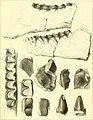 The ancient fauna of Nebraska- a description of remains of extinct mammalia and chelonia, from the Mauvaises Terres of Nebraska (1853) (14594930360).jpg