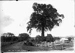 The fig tree, Charcoal (2429909229).jpg