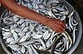 The fish vendor. Ilocos Norte. (16071642089).jpg