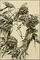The ornamental trees of Hawaii (1917) (14763609274).jpg