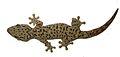 Thecadactylus oskrobapreinorum - ZooKeys-118-097-g004-b.jpg