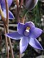 Thelymitra megacalyptra flower.jpg