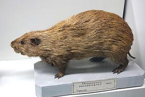Greater cane rat - Image: Thryonomys swinderianus Museo Civico di Storia Naturale Giacomo Doria Genoa, Italy DSC02839