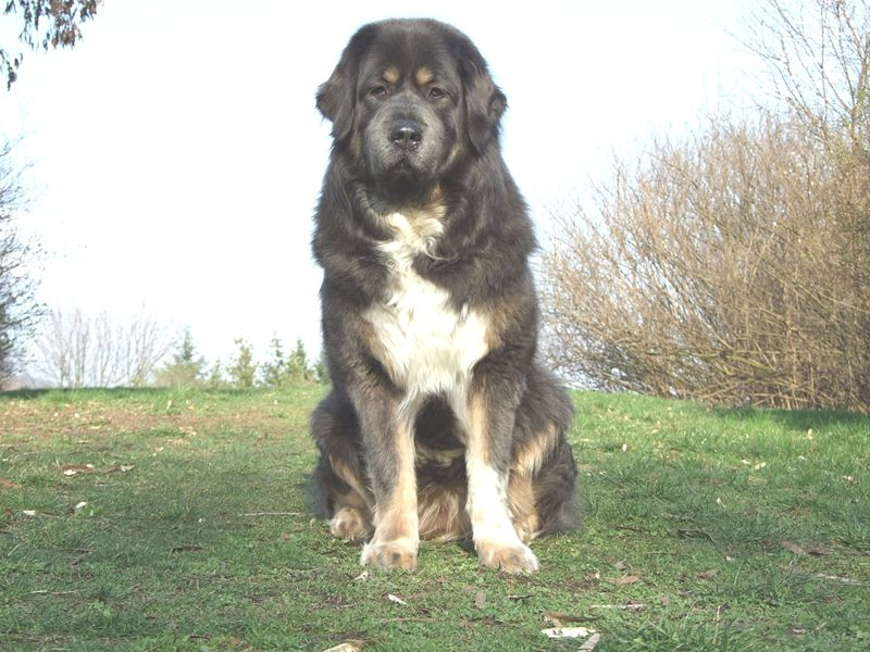 Best Indian Breed Guard Dog