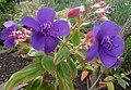 Tibouchina urvilleana (Glänzende Tibouchine, Prinzessinenblüte).JPG