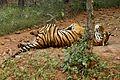 Tigerfeelingfree.jpg