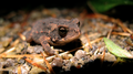 Tiny toad 2 (6068234276).png