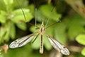 Tipula.vernalis.-.lindsey.jpg