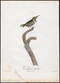 Todus viridis - 1805 - Print - Iconographia Zoologica - Special Collections University of Amsterdam - UBA01 IZ16700311.tif