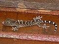 Tokay Gecko (Gekko gecko) juvenile (7846673724).jpg