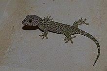 Tokay gecko (Gekko gecko) - Indonesia.jpg