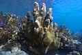 Towering corals in Culebra, Puerto Rico.jpg