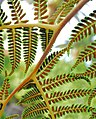 Tree Fern Spores.jpg