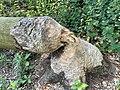 Tree felled by beavers.jpg