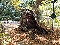 Tree of Hippocrates 01.JPG